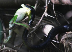 green tree snake, attacks tree frog while butcher bird tries to steal the kill