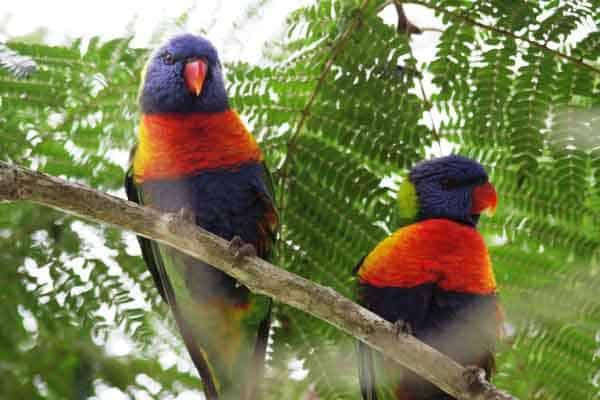 australian wild birds, rainbow lorikeets