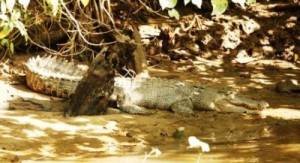 female_crocodile_on_the_daintree_river