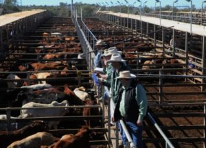 roma_cattle_sales