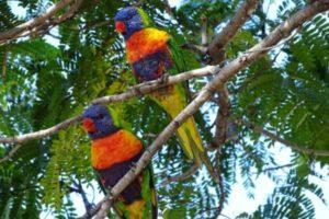 Rainbow Lorikeets Barcaldine