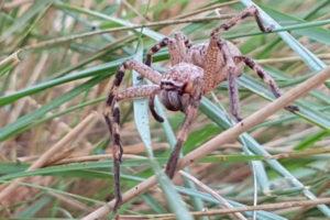 Large Wolf Spider in grass