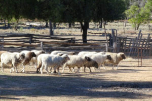 Sheep at Blackall Woolscour