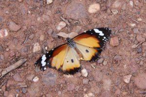 Tregole National Park butterfly