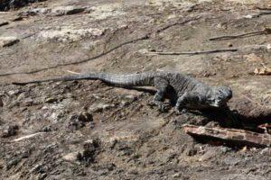 Kondalilla National Park resident Goanna