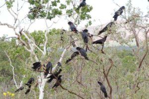Red Tail Black Cockatoos australia