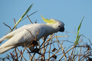 Sulphur Crested Cockatoo australia