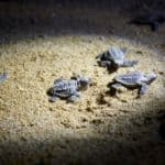 Turtles, Mon Repos, QLD