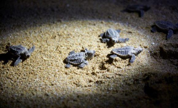 Turtles, Mon Repos, QLD